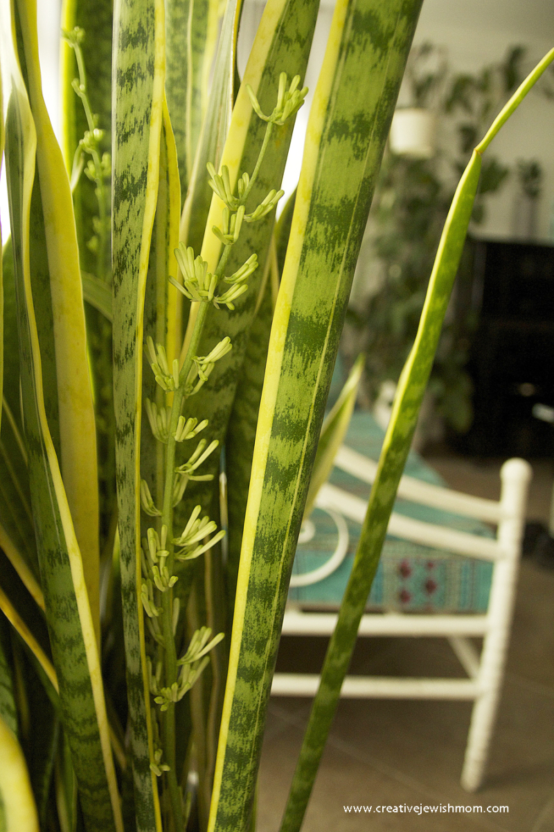 Sansevieria-can-grow-flowers