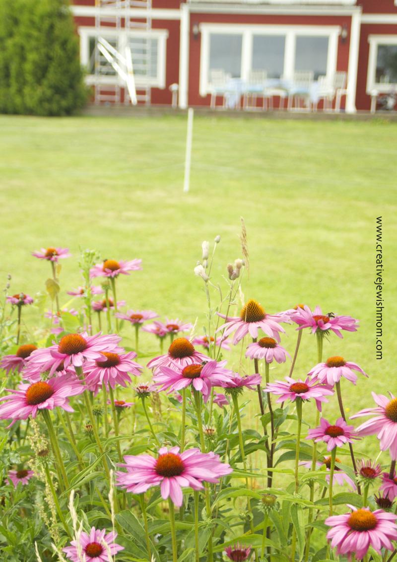 Cone-flowers-on-swedish-farm