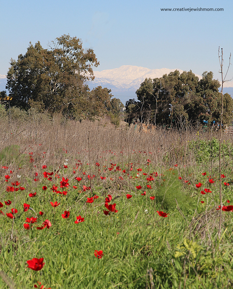 Israel-road-trip-snow-on-mt-hermon-and-poppies