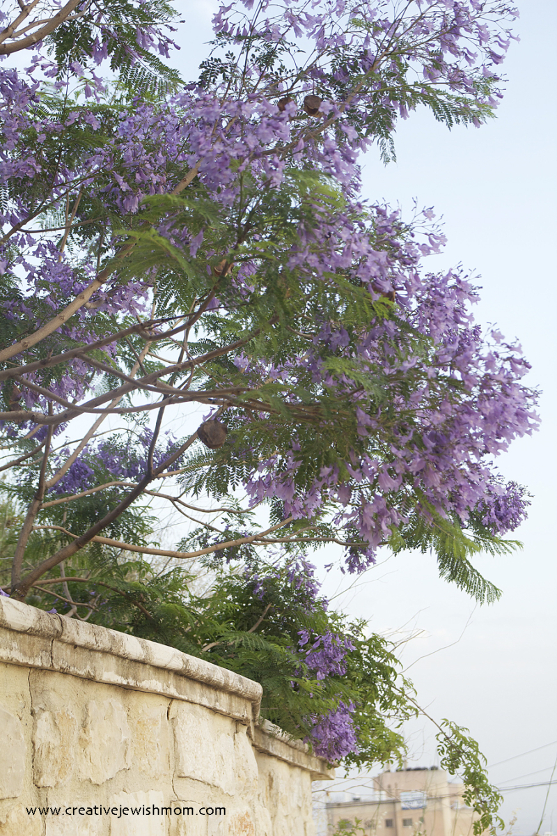 Jacaranda-tree-in-bloom-israel
