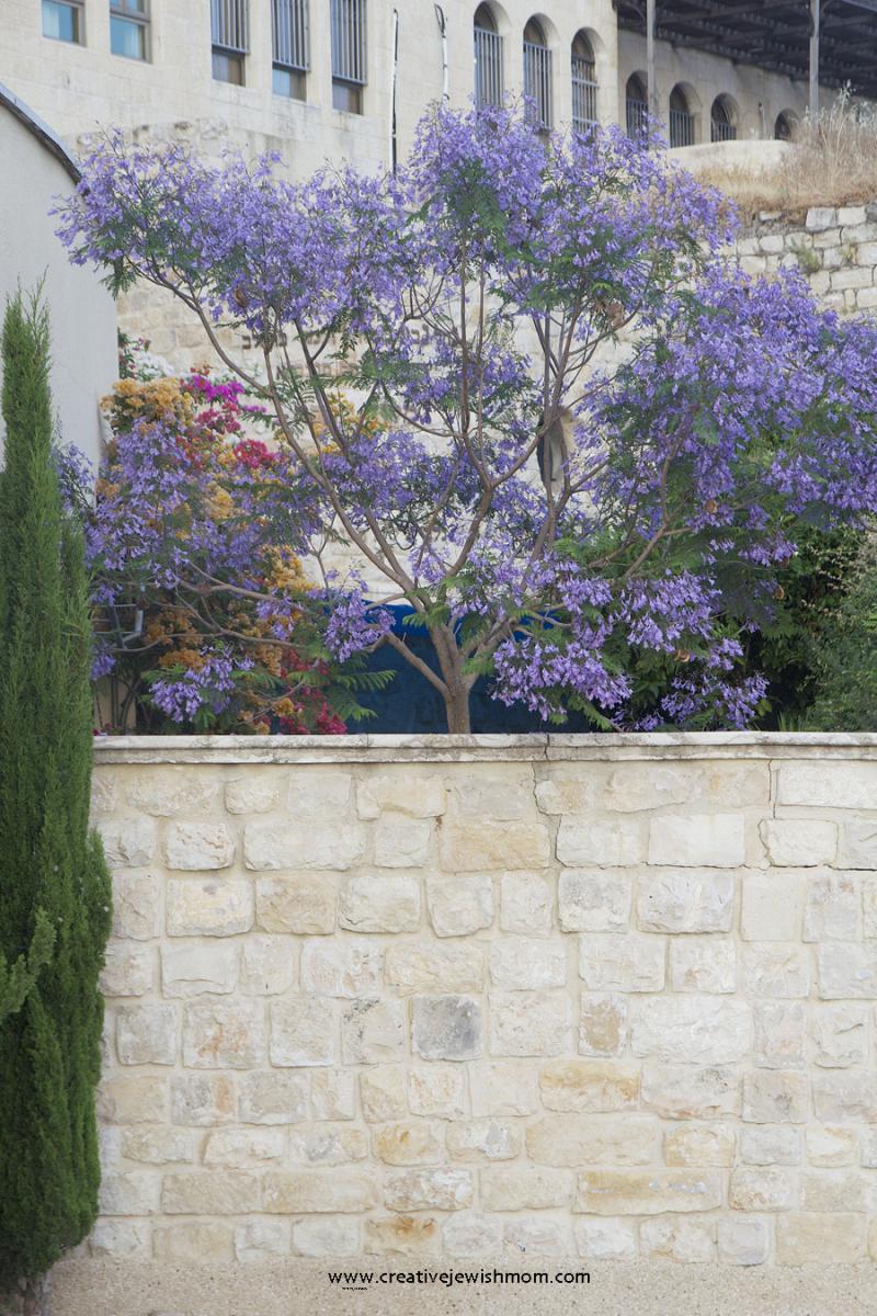 Jacaranda-tree-in-bloom-israel