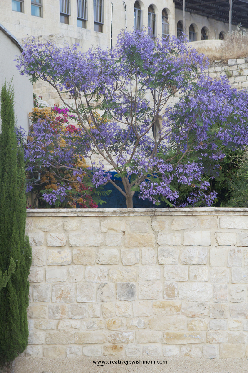 Jacaranda-in-bloom-mediterranean-garden