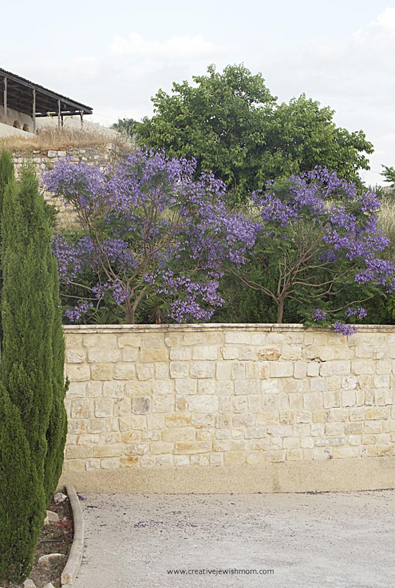 Jaranda-trees-in-bloom-in-june