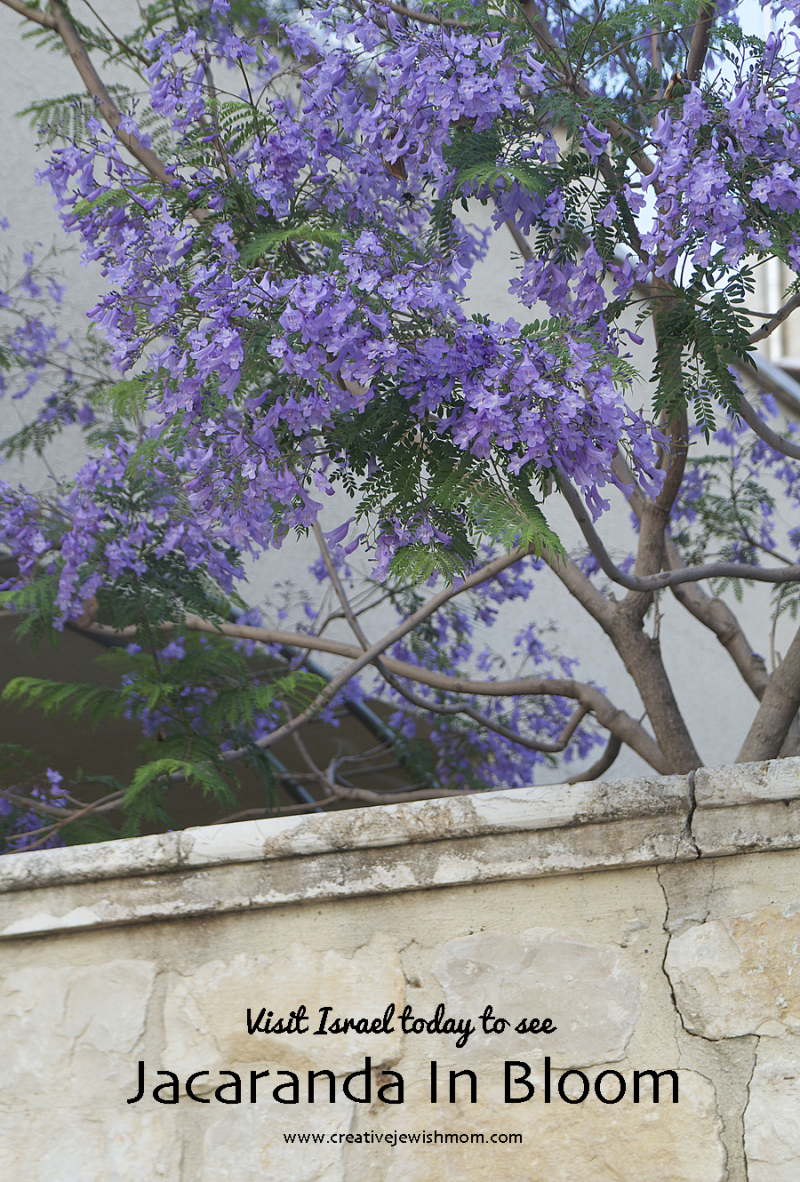 Blooming-tree-jacaranda-israel
