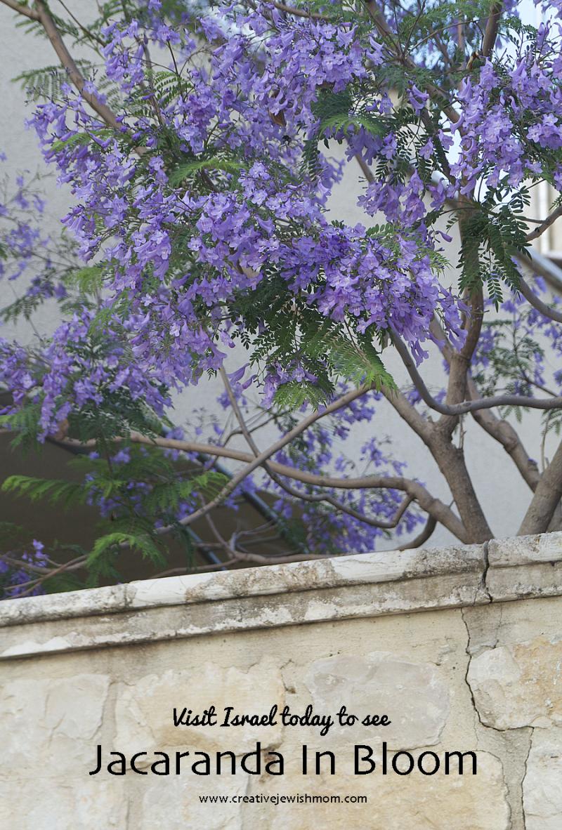 Jacaranda Trees In Bloom In Northern Israel Creative Jewish Mom