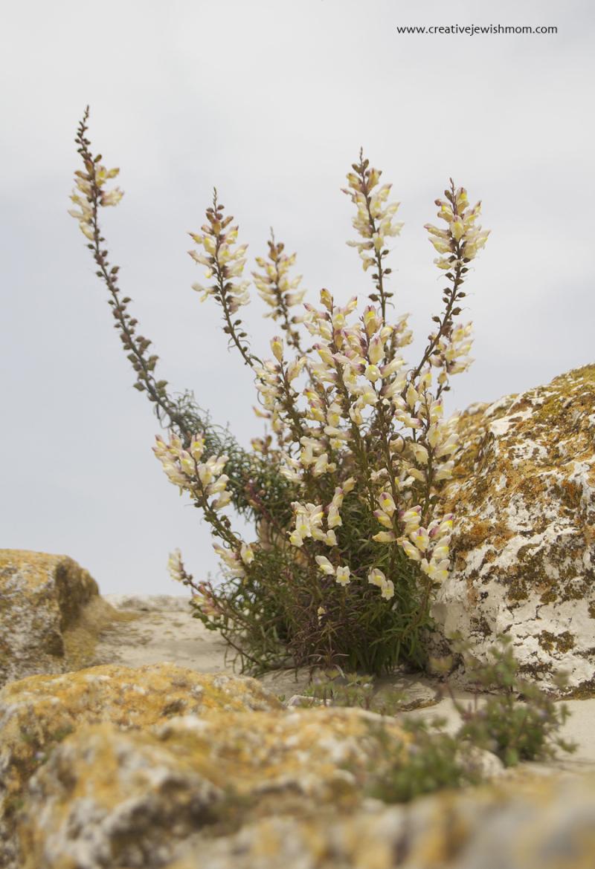 Jerusalem-flowering-weed-on-old-city-wall