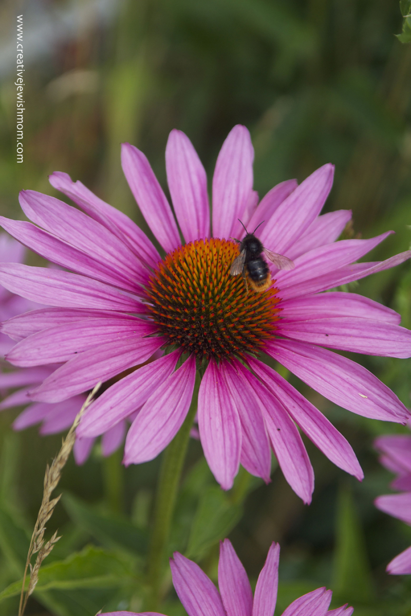 Purple-cone-flower-with-bee
