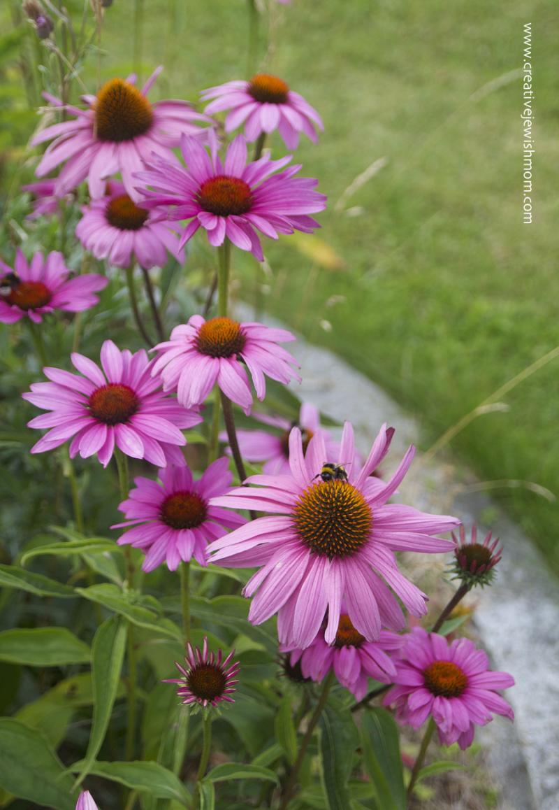 Purple-cone-flowers-around-flag-pole
