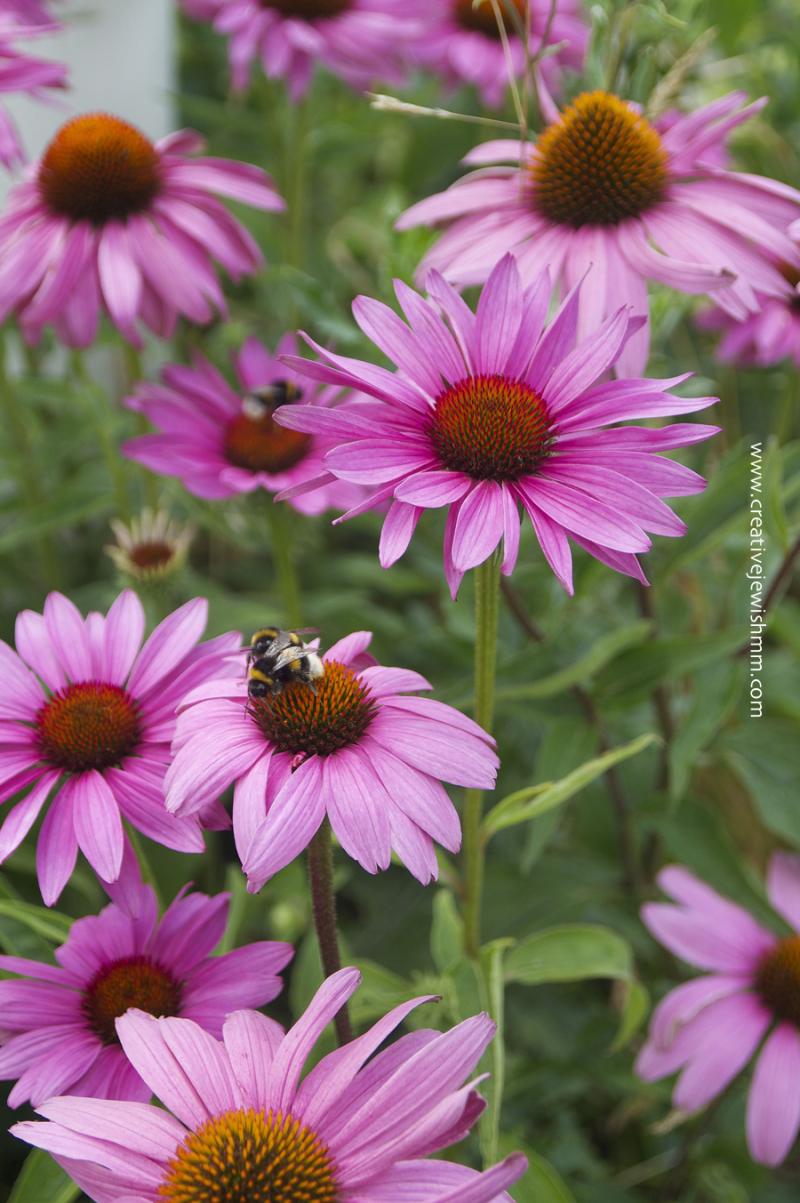 Purple-cone-flowers-echinacia-in-Sweden