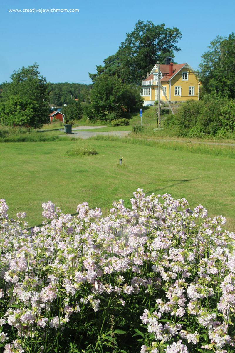 Soapwort-blooms-in-varmdo-sweden
