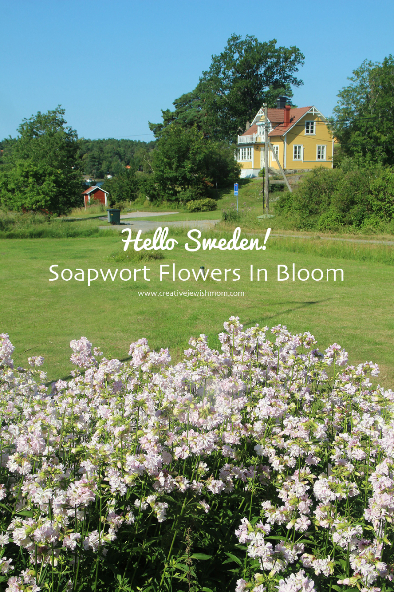 Soapwort-in-bloom-varmdo-sweden