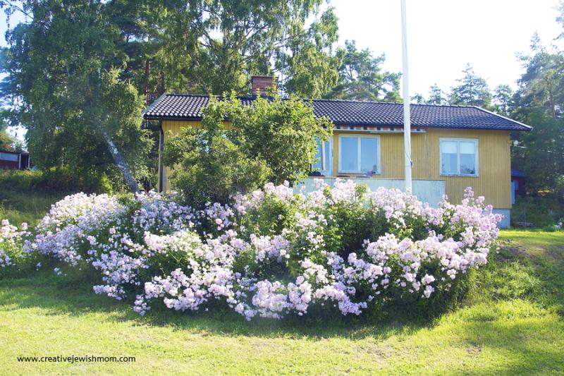 Såpnejlika soapwort blooms in Varmdo