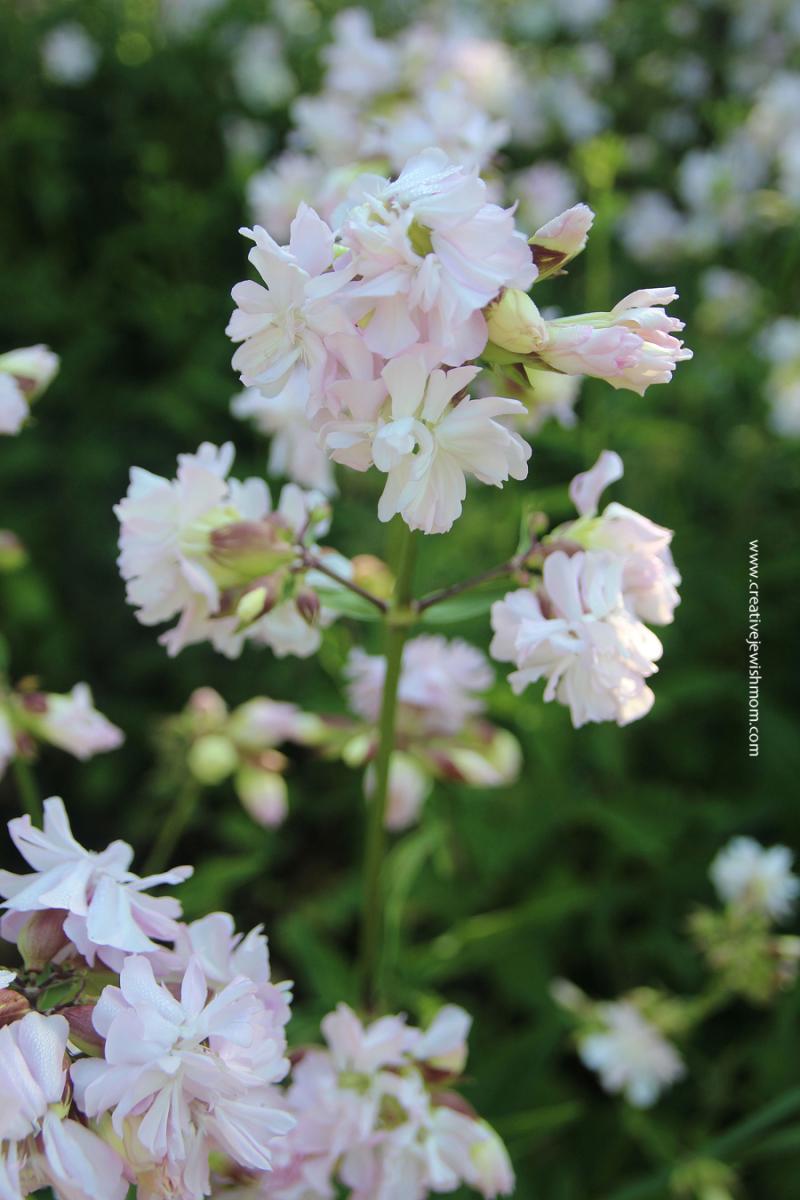 Soapwort-in-bloom-varmdo-sweden