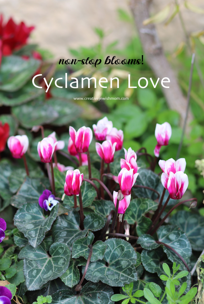 Cyclamen-pink-in-bloom