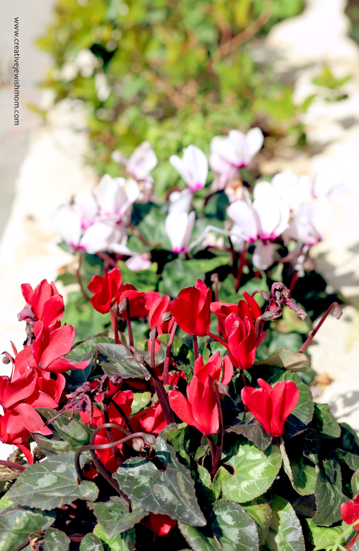 Cyclamen-red-israel