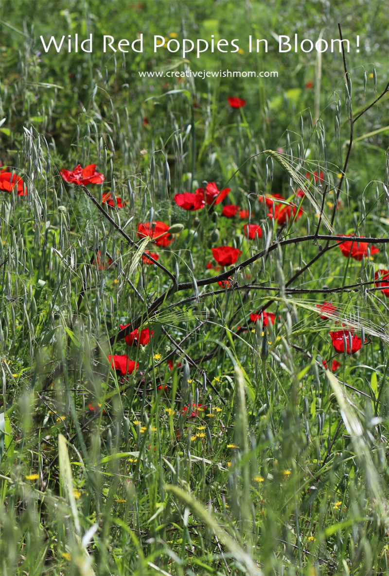 Wild-red-poppies-in-bloom-Israel