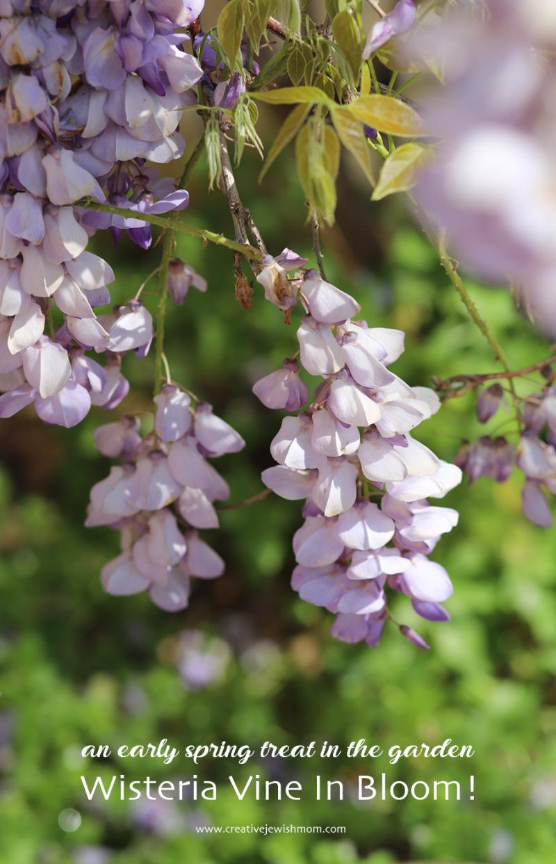 Wisteria-in-bloom-close-up