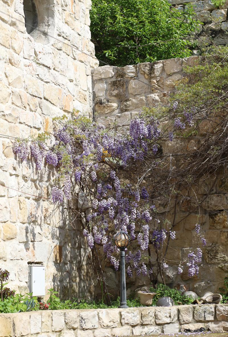 Wisteria-vine-in-bloom-israel