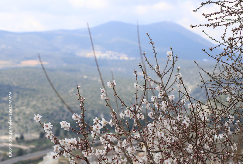Almond-trees-in-bloom-with-Meron-view