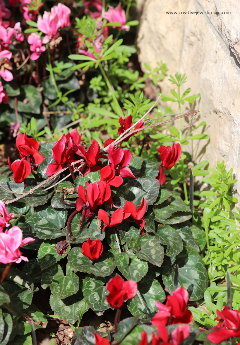 Red-and-pink-cyclamen-israel