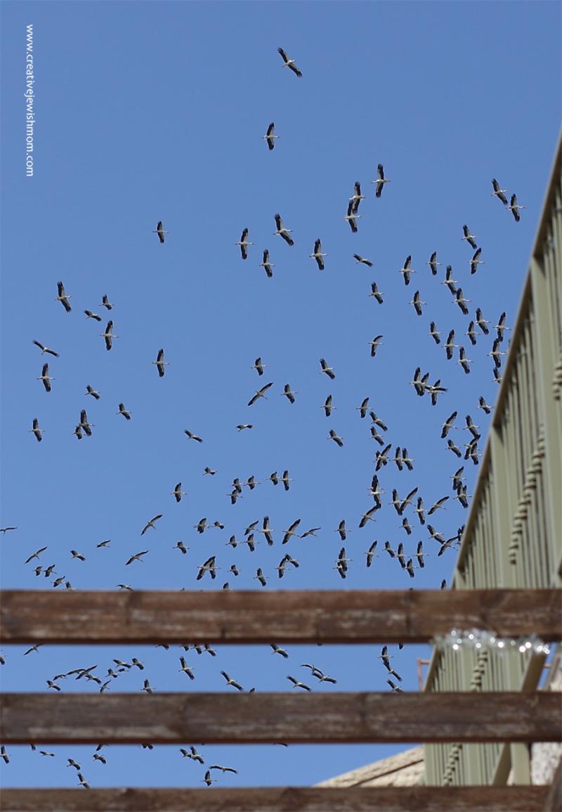 Mirgrating-cranes-over-northern-israel