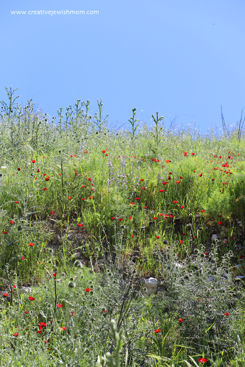 Red-poppies-in-bloom-thistle-coming