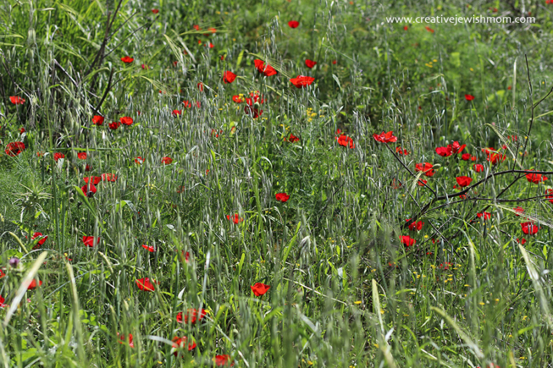 Red-poppies-in-field-israel