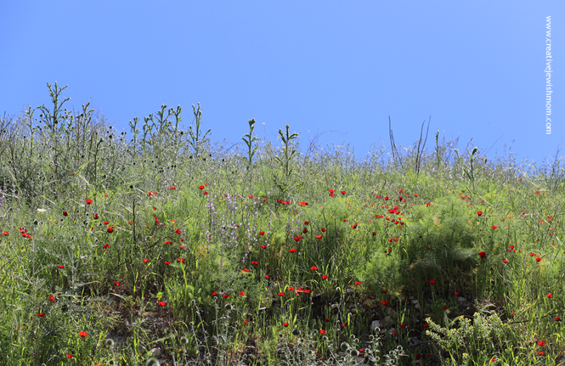 Red-poppies-with-old-stone-wall