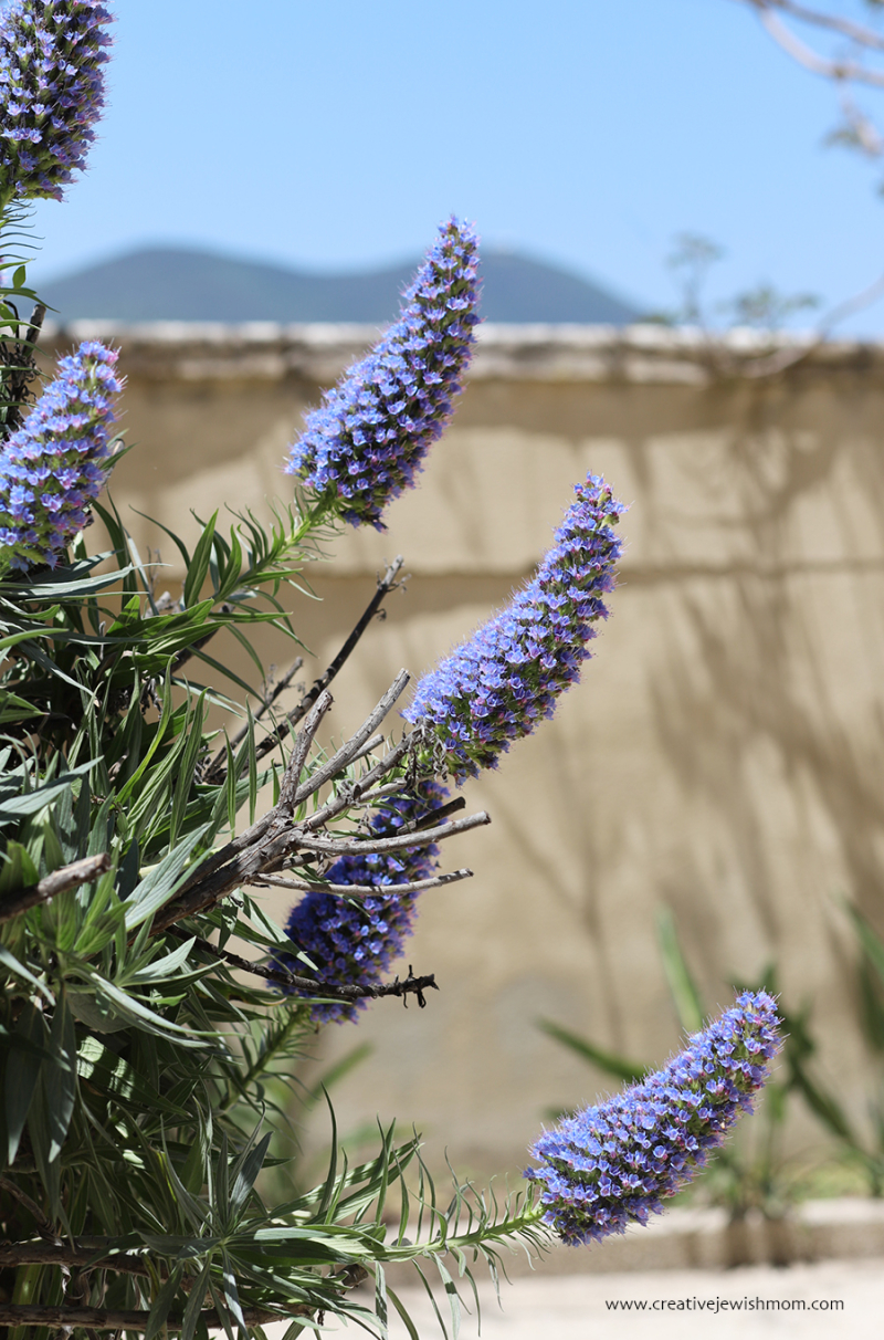 Pride-of-madeira-drought-tolerant