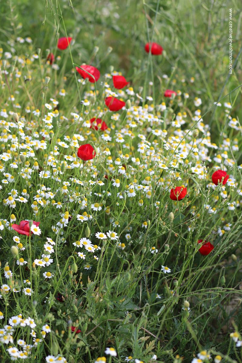 Poppy-israel-wild-flower