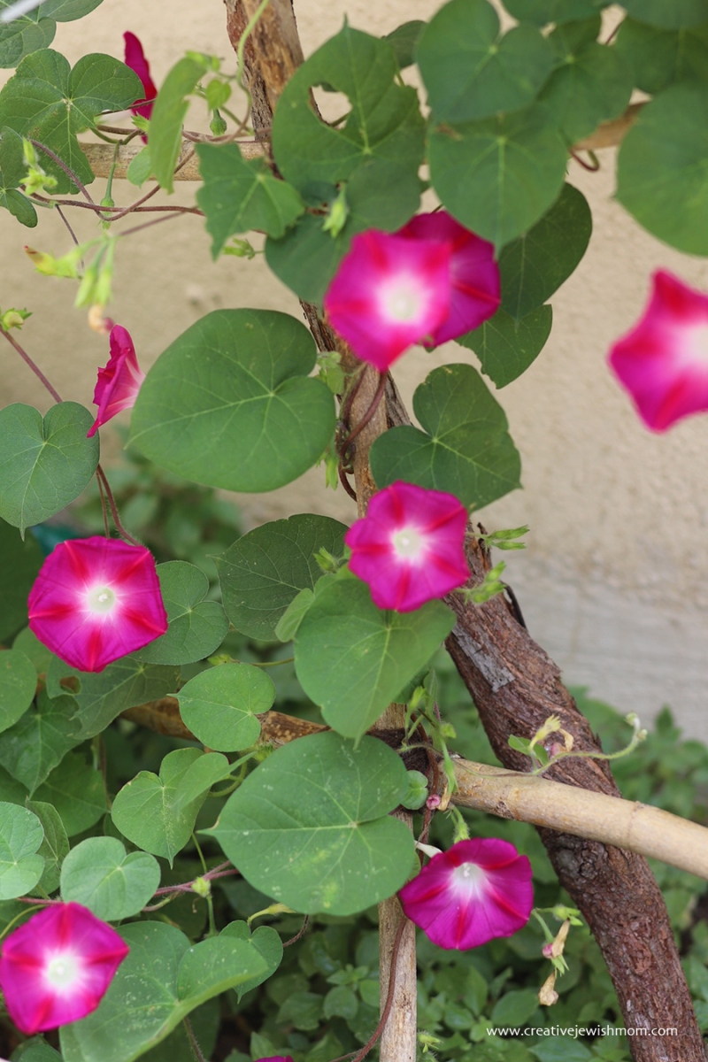 Pink-morning-glory-in-bloom