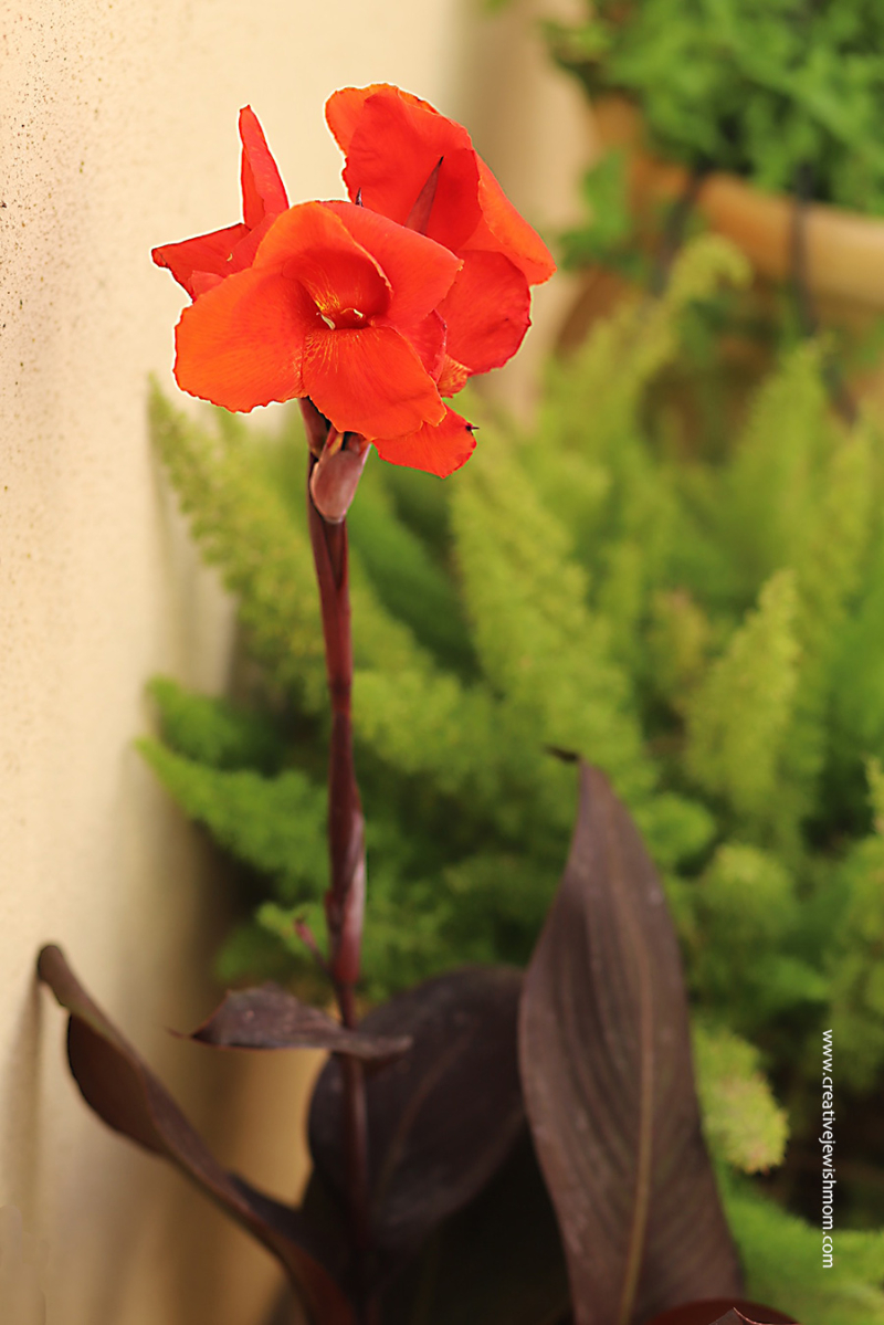 Red-canna-in-bloom-israel-container-garden