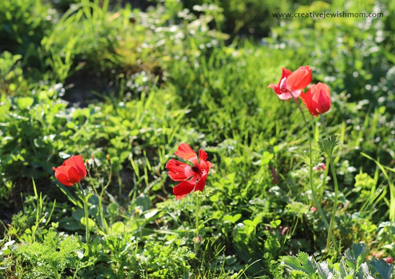 Israel-wild-flowers-red-anemone
