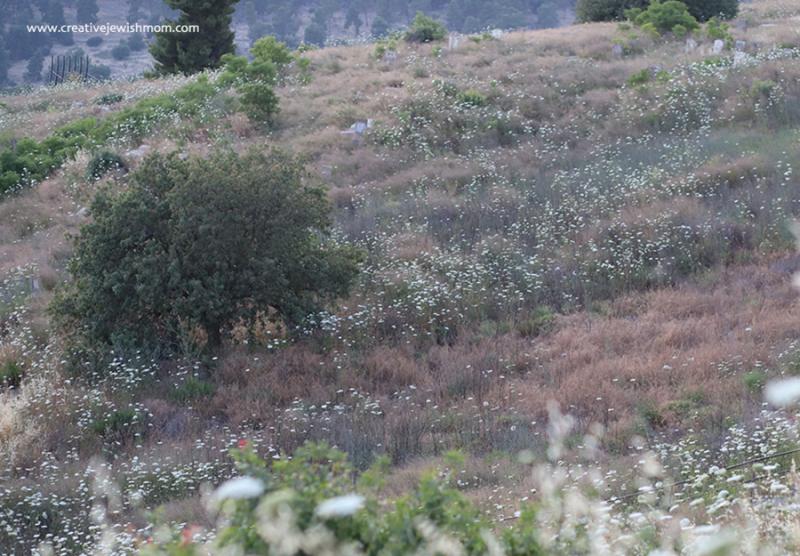 White-wild-flowers-Israel-June