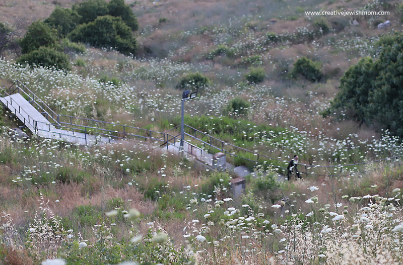 Queen-Anne's-Lace-In-Bloom-Israel