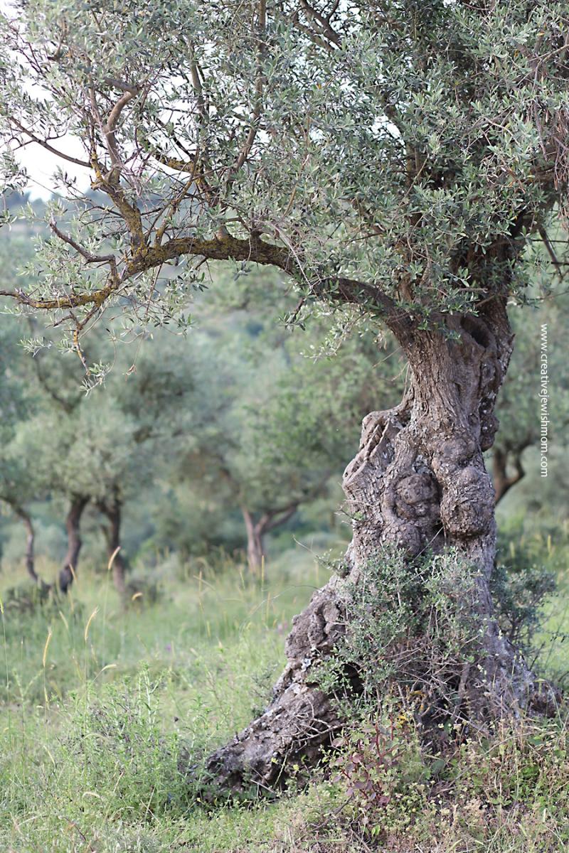 Israel-native-animal-fox-Tzfat-wadi