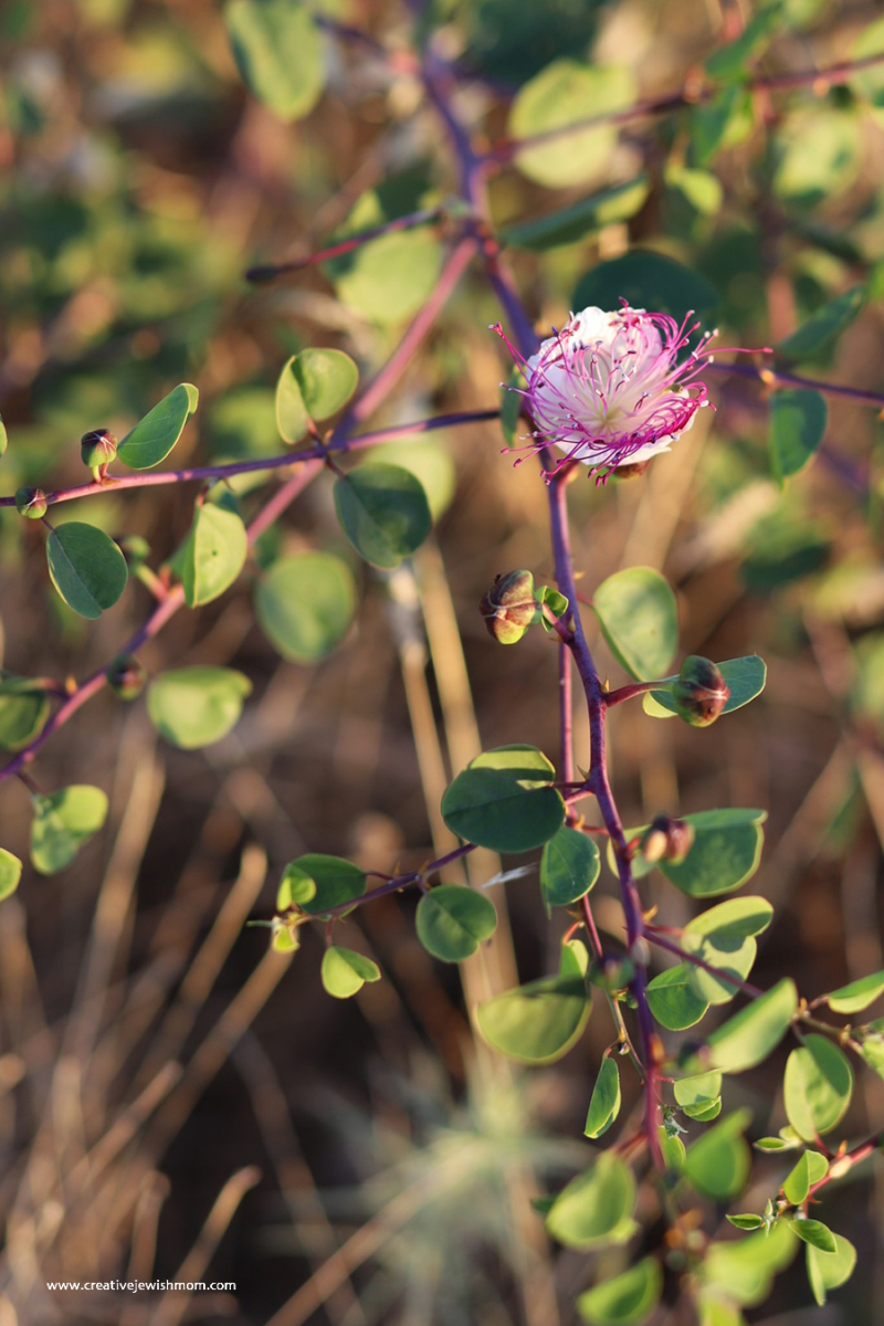 Pomegranite-flowers-up-close
