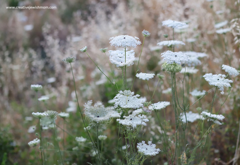 Queen-anne's-lace-close-up