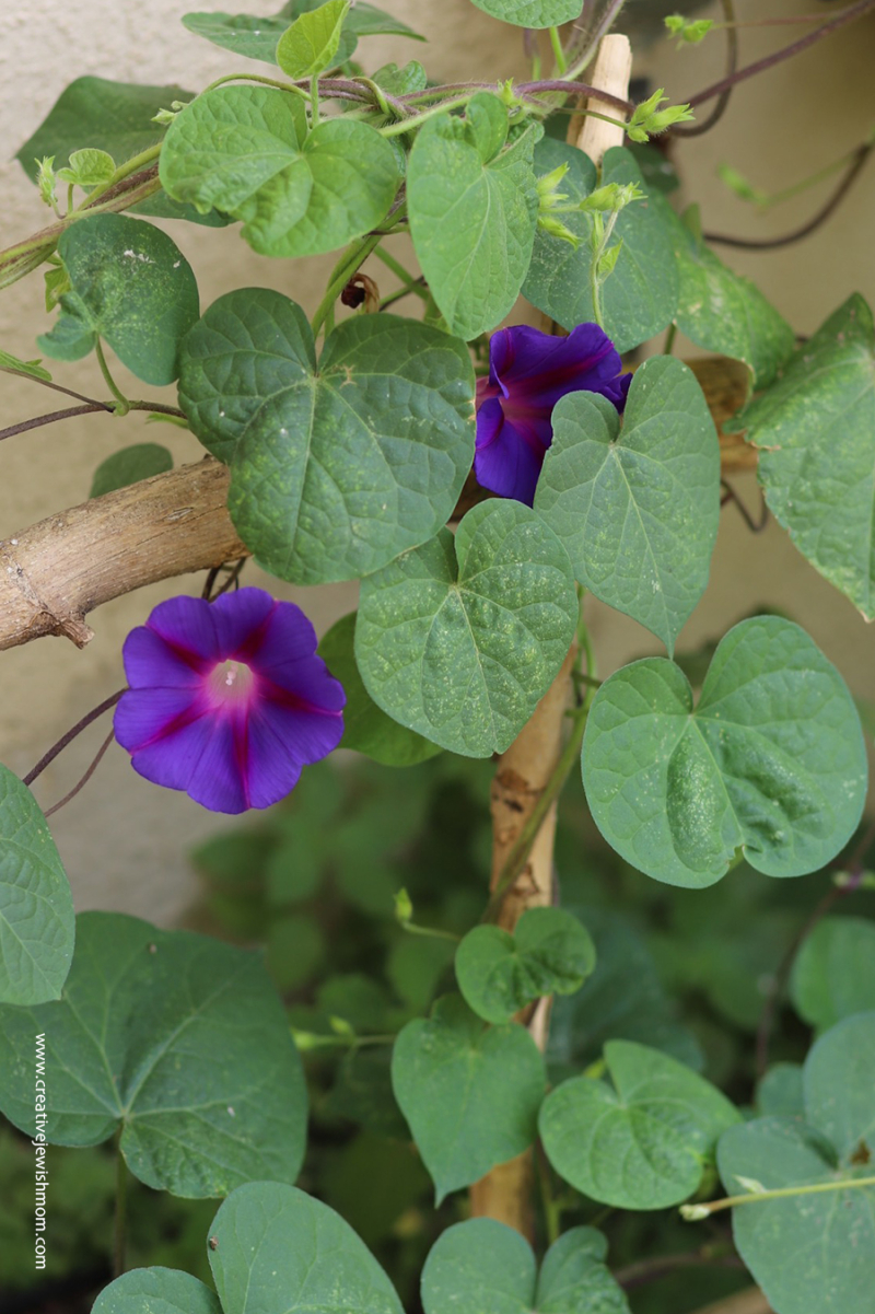 Morning-glory-purple-in-bloom-israel
