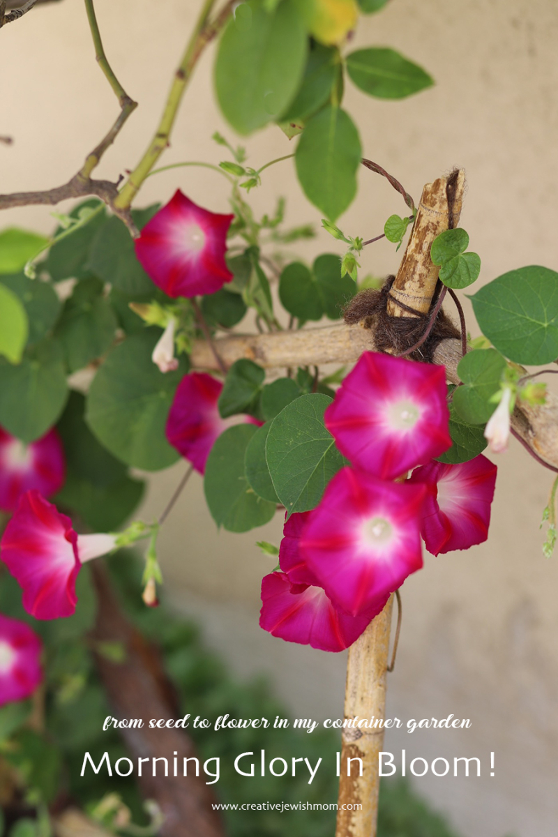 Morning-glory-container-garden
