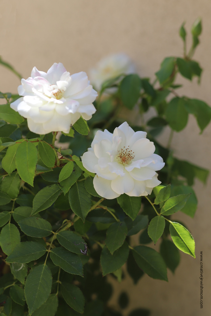 White-rose-bush-in-bloom-container-garder
