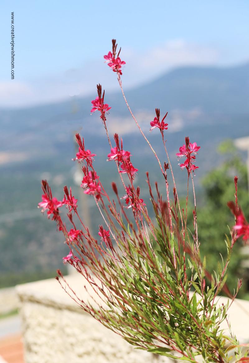 Salvii-gregii-autumn-sage-israel