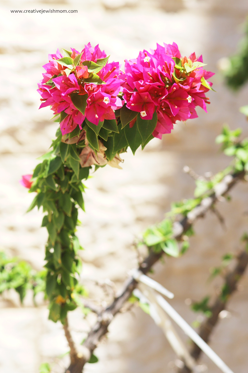 Dwarf-bougainvillea-in-bloom-container