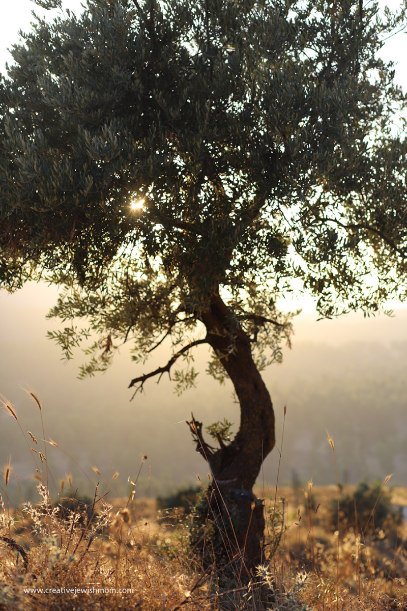 Olive-tree-in-safed-forrest