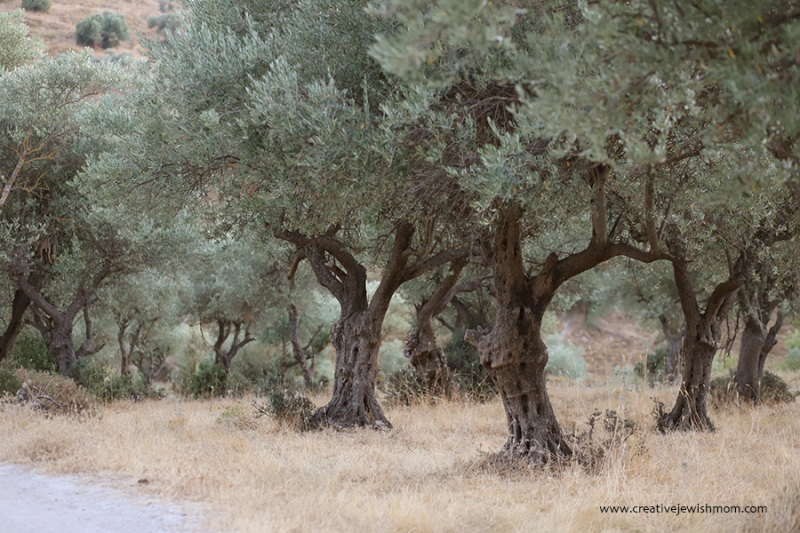 Olive-grove-with-golden-light-israel