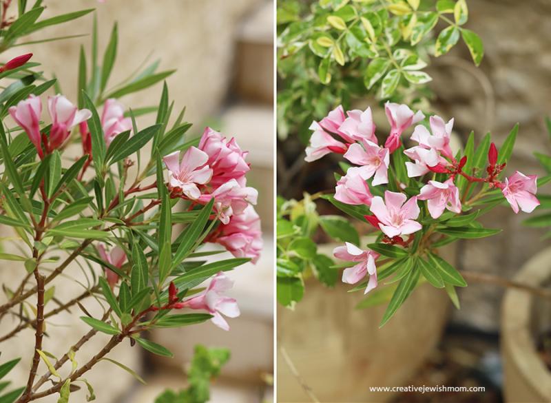 Pink-oleander-flowers-israel