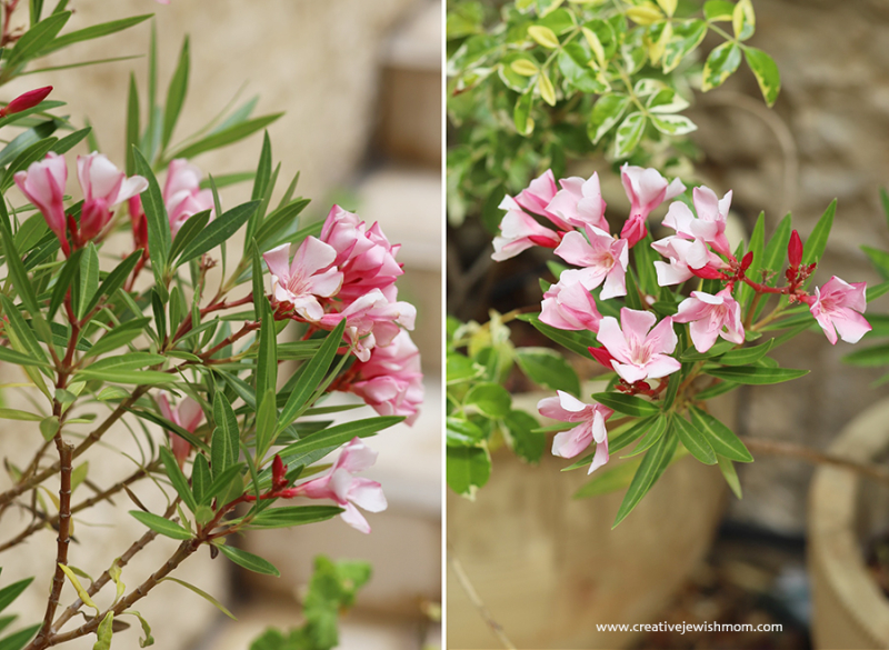 Oleander-bush-israel-with-palm