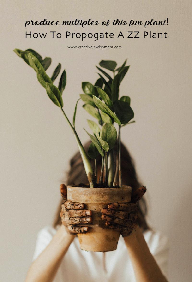 Houseplant-zz-how-to-propogate