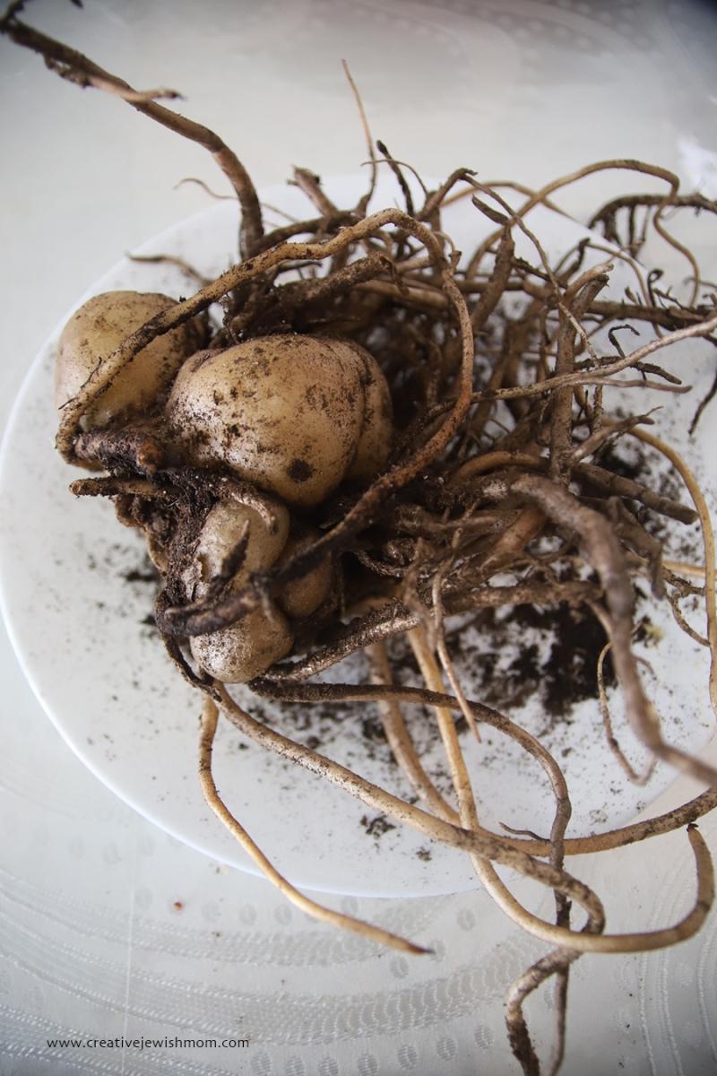 Houseplant-zsi-zsi-rhizome-propogation