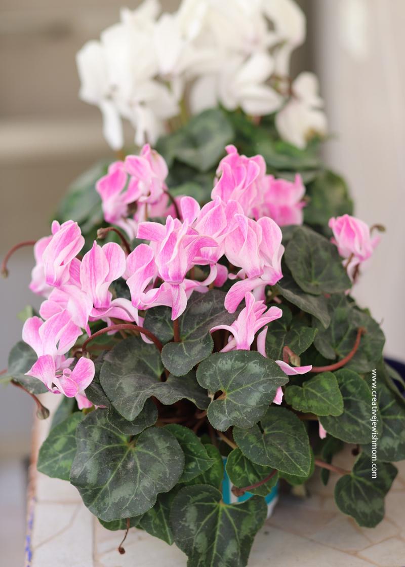 Pink-cyclamen-blooms